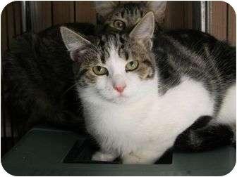 Domestic Shorthair Cat for adoption in Rancho Cordova, California - Travis