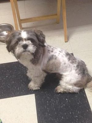 East Stroudsburg Pa Shih Tzu Meet Teddy A Dog For Adoption