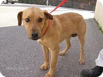 Hound (Unknown Type)/Labrador Retriever Mix Dog for adoption in Manhasset, New York - Adoption Pending -- Harley