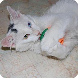 Chicago Il Turkish Angora Meet Rotini A Pet For Adoption