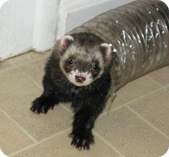 Ferret for adoption in South Hadley, Massachusetts - Joey