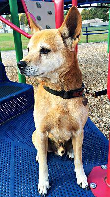 Virginia Beach Va Shiba Inu Meet Skeebus A Pet For Adoption