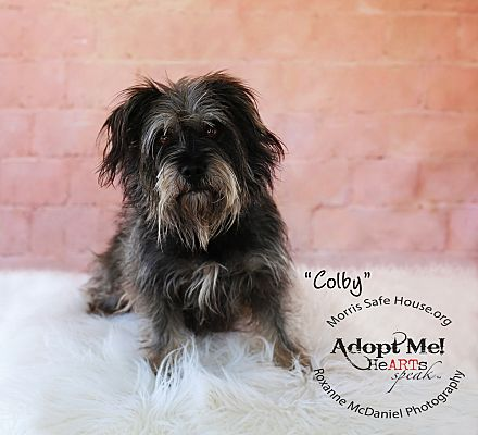 Lubbock Tx Cairn Terrier Meet Colby A Pet For Adoption