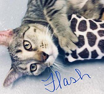 Adopt A Pet :: Flash  - Mt Vernon, IN