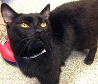 Domestic Shorthair/Domestic Shorthair Mix Cat for adoption in Anderson, Indiana - Meeko
