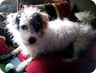 Cairn Terrier Mix Dog for adoption in Chicago, Illinois - Dewey