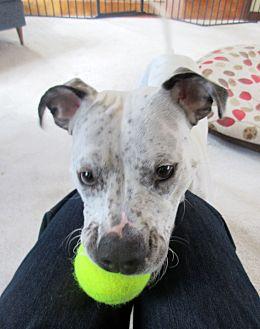 Adopt A Pet :: Iris  - Troy, MI