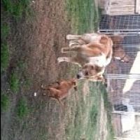 Shepherd (Unknown Type)/Husky Mix Dog for adoption in Visalia, California - Casey