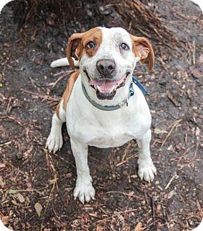 Hound (Unknown Type)/Bulldog Mix Dog for adoption in Savannah, Georgia - Buster 2