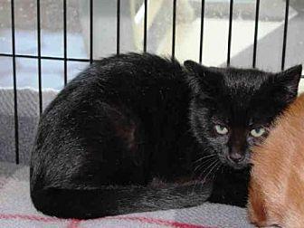 Domestic Mediumhair Kitten for adoption in Hampton Bays, New York - SPAGHETTI
