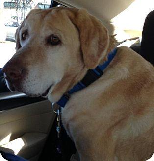Labrador Retriever Dog for adoption in Denton, Texas - Beatrice