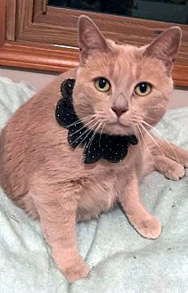 Adopt A Pet :: GingerSnap  - Troy, MI