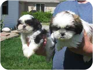 Fort Wayne In Shih Tzu Meet Cutie A Pet For Adoption