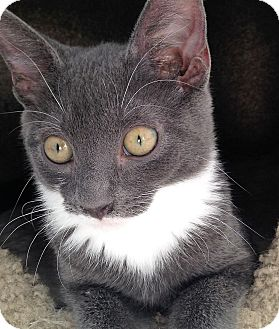 Domestic Shorthair Kitten for adoption in Fairfax, Virginia - Brava