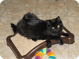 Domestic Longhair Cat for adoption in Grand Rapids, Michigan - Batty Koda
