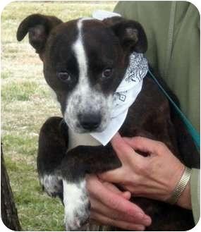 Pitbull Cattle Dog Mix Puppy