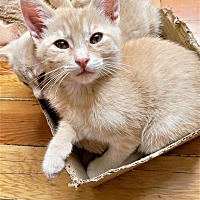Domestic Shorthair Kittens For Sale In Paso Robles California