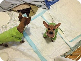 Chihuahua Puppy for adoption in Encino, California - Ava 2 lbs