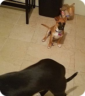 Boxer Mix Puppy for adoption in Manhattan, Kansas - Josie