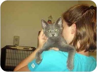 Russian Blue Kitten for adoption in Norwalk, Connecticut - Jasper