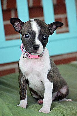 Nashville, TN - Boston Terrier  Meet Cami a Pet for Adoption