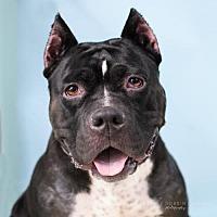 Adopt A Pet :: Oreo - Colonial Heights, VA