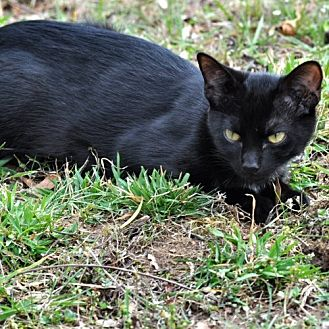 Domestic Shorthair Cat for adoption in Norristown, Pennsylvania - Berry
