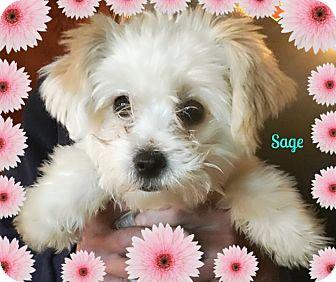 Seattle Wa Maltese Meet Sage A Pet For Adoption