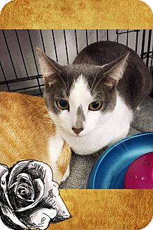 Domestic Shorthair Cat for adoption in Mansfield, Texas - Greyson