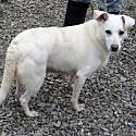 Adopt a Pet :: Treasure - Indiana, PA -  Border Collie/Siberian Husky Mix