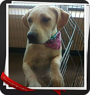 Labrador Retriever Mix Puppy for adoption in Apache Junction, Arizona - Zoey