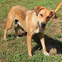 Adopt A Pet :: Precious(55 lb) AWESOME Girl - Williamsport, MD