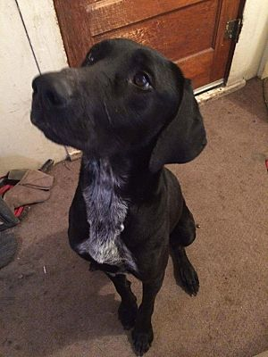 Sioux Falls Sd Great Dane Meet Chase A Pet For Adoption