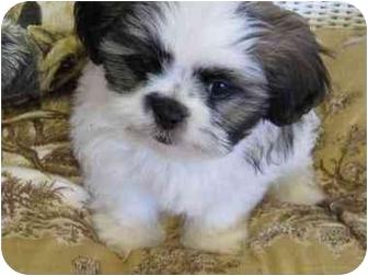 Conroe Tx Shih Tzu Meet Teddy Bear A Pet For Adoption