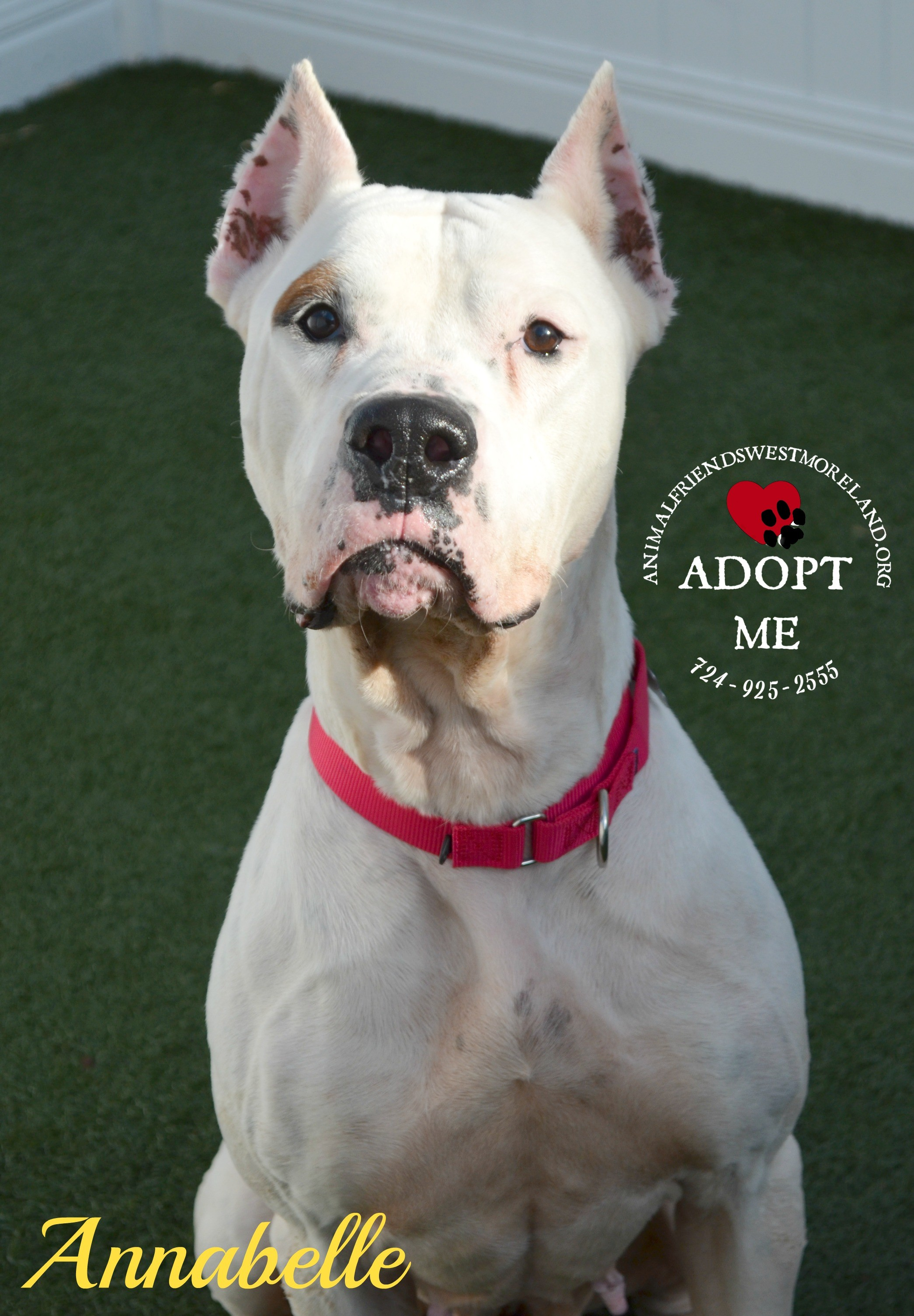 Youngwood, PA - Dogo Argentino  Meet Annabelle a Pet for Adoption