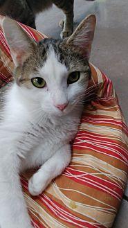 Adopt A Pet :: Casta  - Wilmington, OH