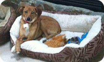 Labrador Retriever Mix Puppy for adoption in Norwalk, Connecticut - Peaches