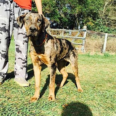 Painted K Ranch Catahoulas Did You Know The Catahoula Leopard Dog Louisiana Breeders Puppies Temperament For