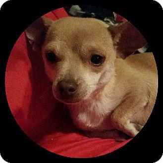 Chihuahua Mix Dog for adoption in Buffalo, New York - Dottie