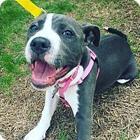 Adopt A Pet :: Ivy - Newtown, CT