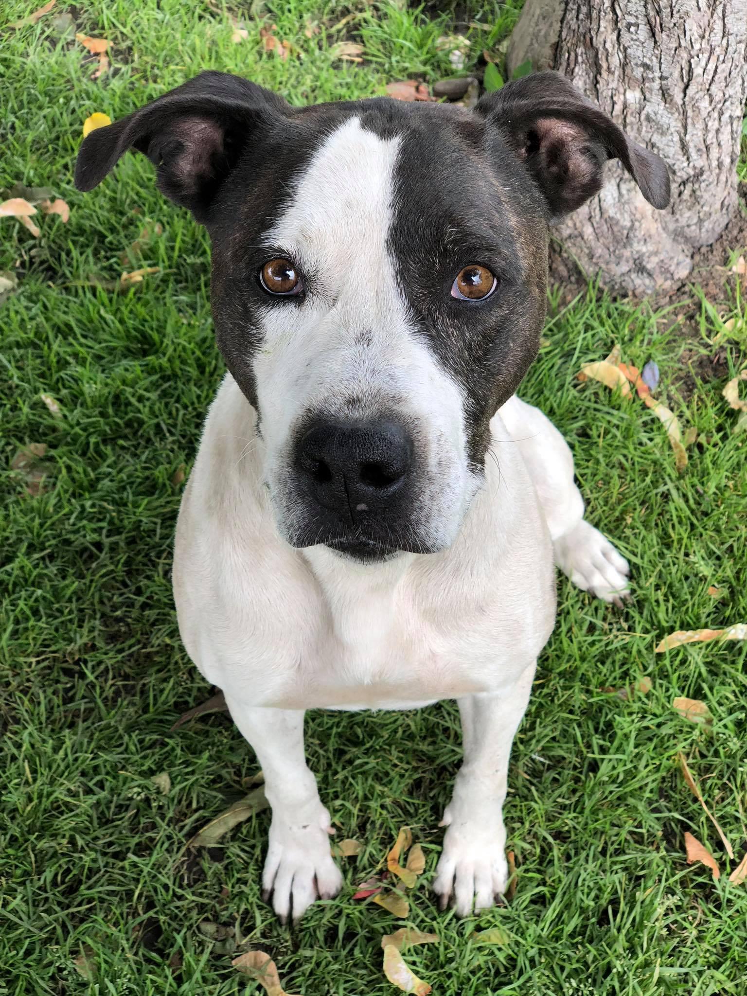 Free Pitbull Puppies Spokane Washington - Puppy And Pets