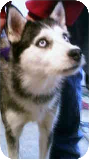 Husky/Jack Russell Terrier Mix Dog for adoption in Colorado Springs, Colorado - Lilly