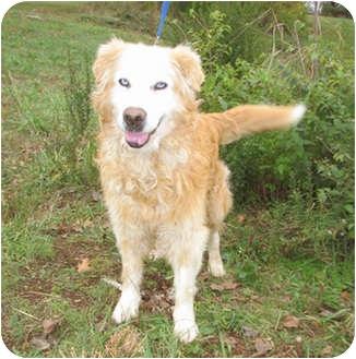 Golden Retriever Mix Dog for adoption in New Brighton, Minnesota - Buddy