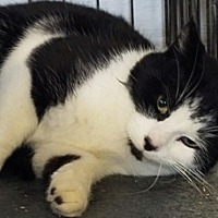 Domestic Shorthair Cat for adoption in Sistersville, West Virginia - Theo