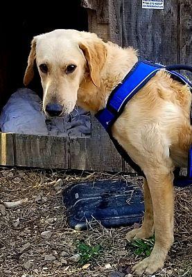 Gainesville Ga Goldendoodle Meet Doodle A Pet For Adoption