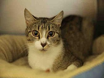 Domestic Mediumhair Cat for adoption in Rogers, Arkansas - SHEBA
