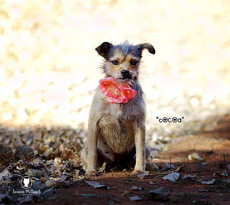 Lubbock, TX - Yorkie, Yorkshire Terrier  Meet Cocoa a Pet