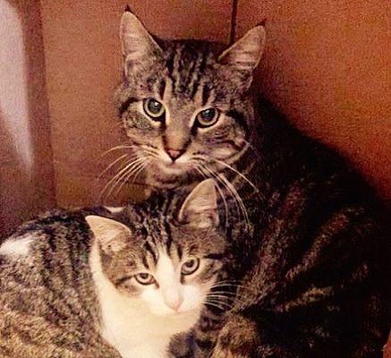 Escondido Ca Domestic Shorthair Meet Ellie Mae A Pet For Adoption