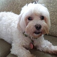Maltese Dog for adoption in Chattanooga, Tennessee - Gen. Colin Powell (TN)