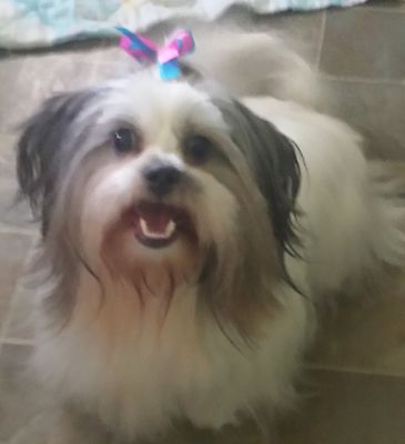 Elizabethtown, KY - Shih Tzu  Meet Coco Chanel a Pet for